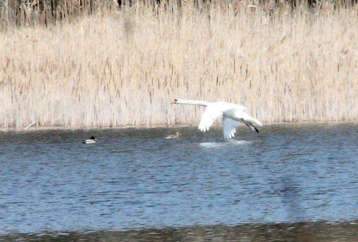 Labuť velká (Cygnus olor); Debnica dolní; 21.03.09 (foto: P.Suvorov)