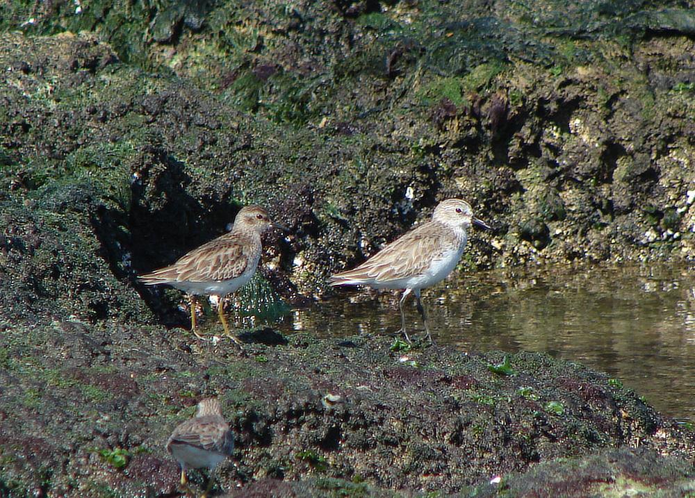 Vlevo jespák drobný (Calidris minutilla), vpravo jespák srostloprstý (Calidris pusilla) - foto: J. Vaněk