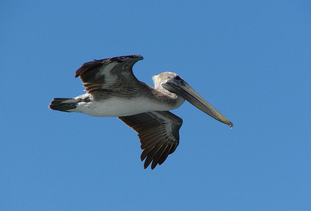 Pelikán hnědý (Pelecanus occidentalis) - foto: J. Vaněk