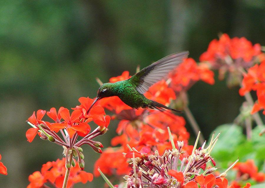 kolibřík kubánský (Chlorostilbon ricordii) - foto: J. Vaněk