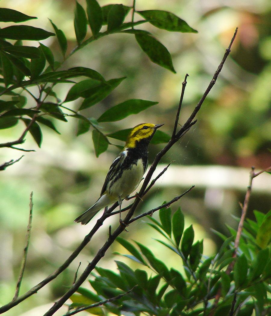 lesňáček proužkoboký (Dendroica virens) - Kuba (foto: J. Vaněk)