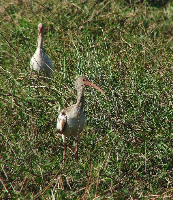 ibis bílý (Eudocimus albus) - foto: J. Vaněk