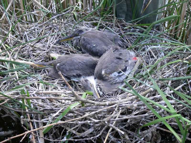 Mladé volavky, označené odečítacími kroužky - foto: Jan Bartoníček
