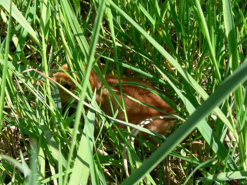 Mládě jeřába popelavého, ukryté v trávě - foto: Jan Bartoníček