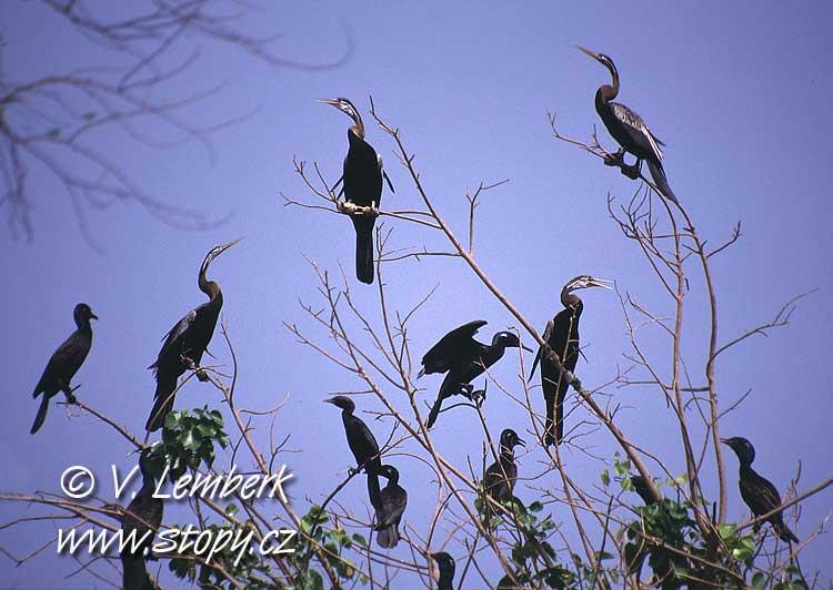 Anhinga rezavá (Anhinga melanogaster) - Indie; 2002 (V. Lemberk)