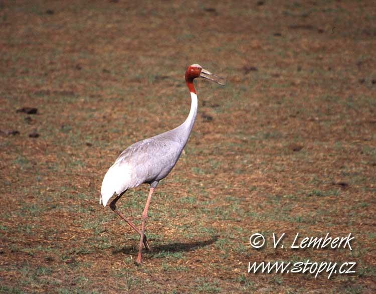 Jeřáb antigonin (Grus antigone) - Indie; 1997 (V. Lemberk)