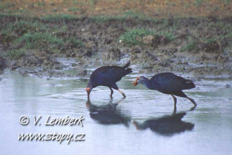 Slípka modrá (Porphyrio porphyrio) - Inide, 2002 (V. Lemberk)