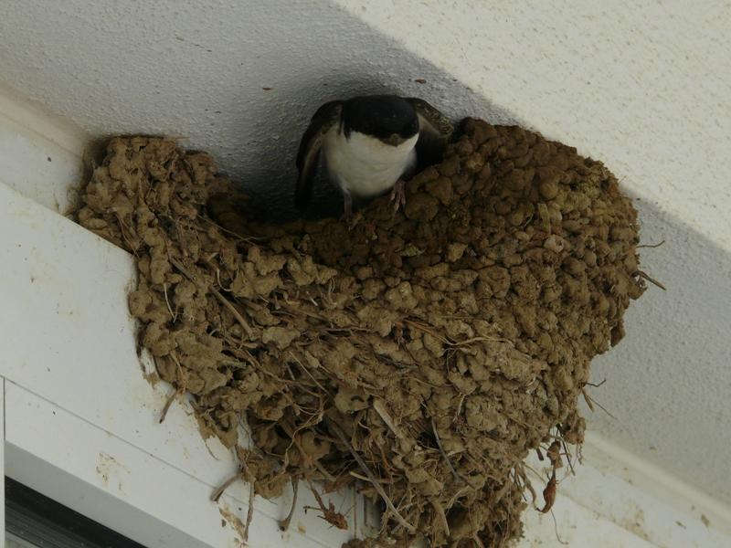 Výsledek obrázku pro hnízdo vlaštovek a jiřiček csop
