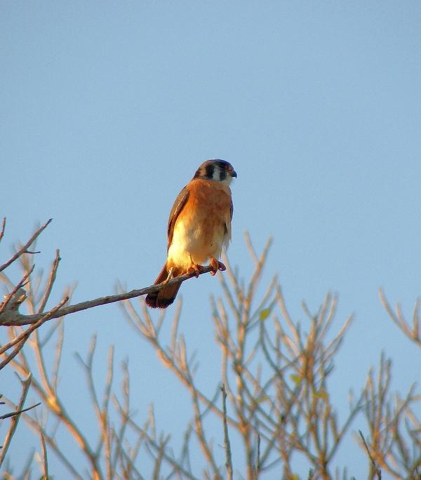 poštolka pestrá (Falco sparverius) - foto: J. Vaněk