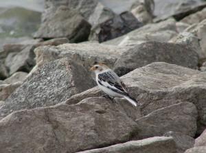 Sněhule severní (Plectrophenax nivalis) – pravidelný zimní host na přehradě. Foto J. Vaněk