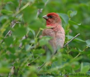 Hýl rudý zde patří mezi velmi běžné ptáky. Foto – Tomáš Bělka.