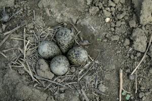 Hnízdo čejky chocholaté na orné půdě. PO Komárov, 2012. Foto L. Kadava