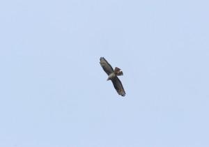 Kroužícího včelojeda jsme pozorovali také přímo na našimi chatkami. Foto R. Waldhauser