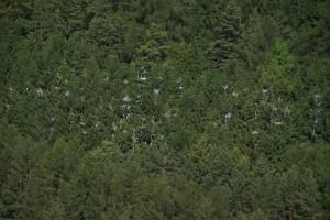 Lesní kolonie volavek popelavých (Ardea cinerea) u Pěčíkova. Foto J.Mach.