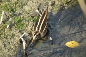 Slučka malá (Lymnocrytes minimus), u Nového rybníka, Opatov. Foto J.Mach.