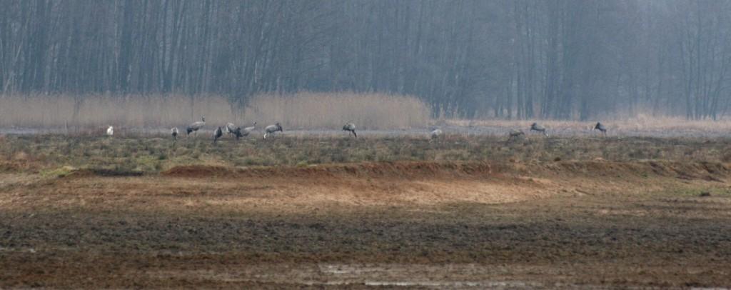 Jeřábi popelaví v NPR Bohdanečský rybník. foto L. Kadava