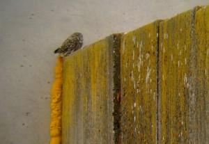 Sýček obecný na hnízdišti na Královehradecku. Foto L. Kadava