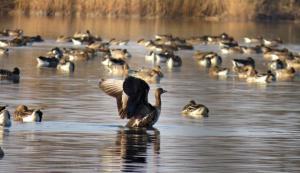 Severské husy odpočívají na hladině Proudnického rybníka. Foto J. Studecký
