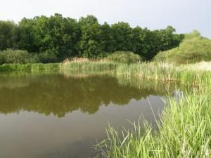 Litorální porosty rybníka Temník. Foto . Hůlka