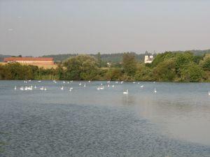 Ostruženský rybník. Letniště labutí. foto V. Šoltys