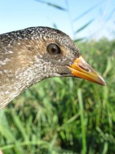 Chřástal kropenatý (Porzana porzana) byl na Třesickém rybníku zjištěn již vícekrát. Hnízdění však doposud prokázáno nebylo. Foto L. Kadava