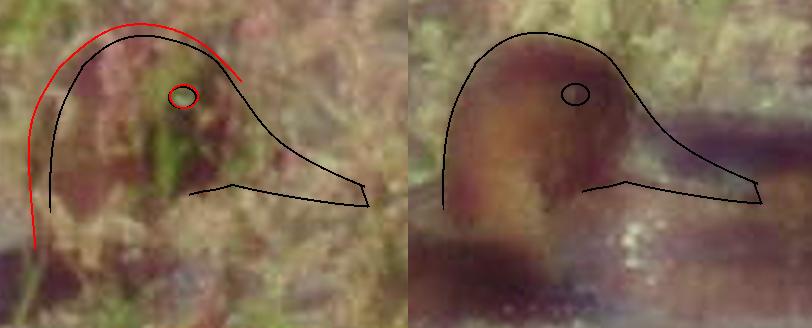 Počítačem vytvořené grafické srovnání velikosti hlavy dospělého poláka malého a mladého jedince. Foto a úprava J. Krejčík
