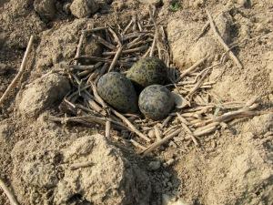 Hnízdo čejky chocholaté nalezené na Nechanicku 29.3.2014. Foto L. Kadava