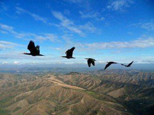 Ibis skalní. Foto M. Unsold