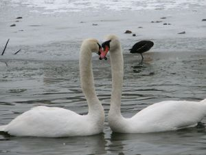 Labuť velká. foto Světlana Vránová