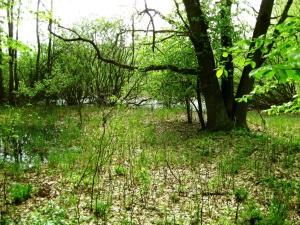Zdější lesy si částečně uchovávají přirozenou skladbu dřevin. Tvrdý luh u rybníka Temník. Foto L. Kadava
