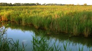Rozsáhlé rákosové porosty u Třesického rybníka. Foto L. Kadava